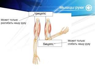 www.themegallery.com Мышцы руки трицепс бицепс Может только разгибать нашу ру