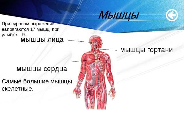 www.themegallery.com мышцы лица мышцы гортани мышцы сердца Самые большие мышц...