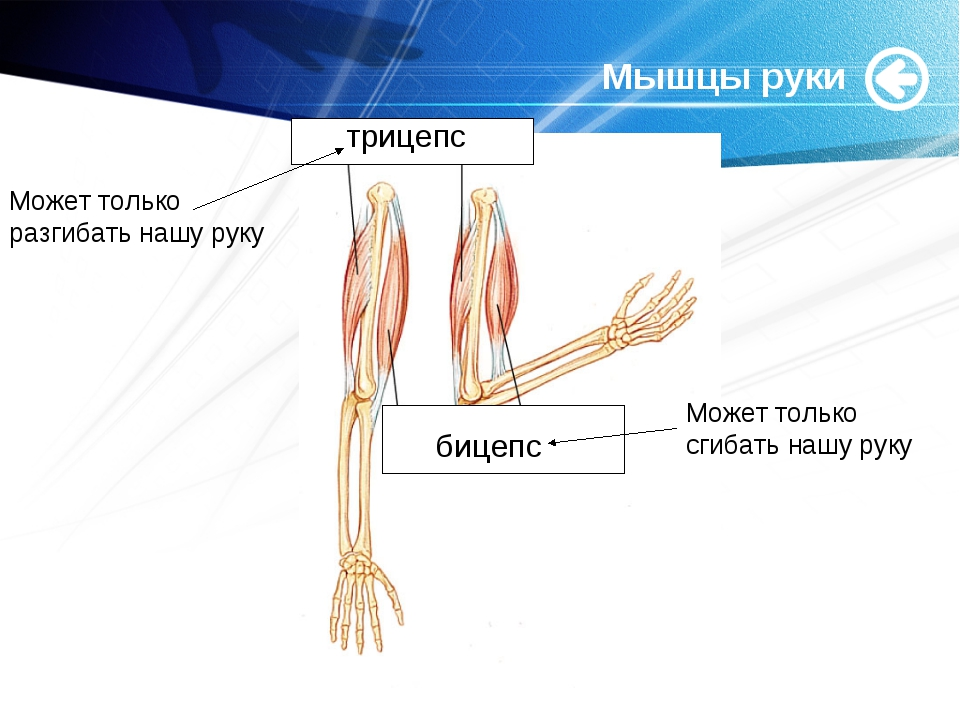 www.themegallery.com Мышцы руки трицепс бицепс Может только разгибать нашу ру...
