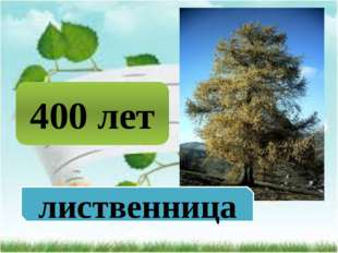 400 лет лиственница