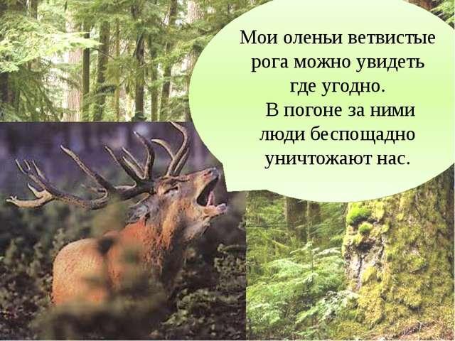 Мои оленьи ветвистые рога можно увидеть где угодно. В погоне за ними люди бес...