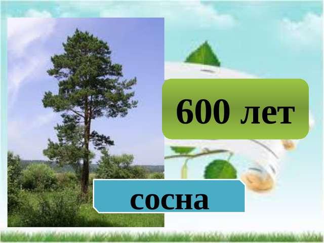 600 лет сосна