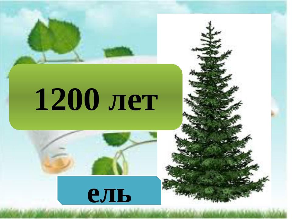 1200 лет ель