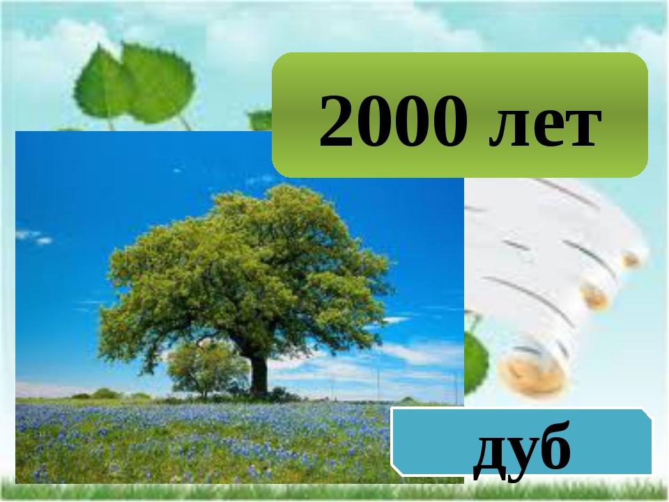 2000 лет дуб