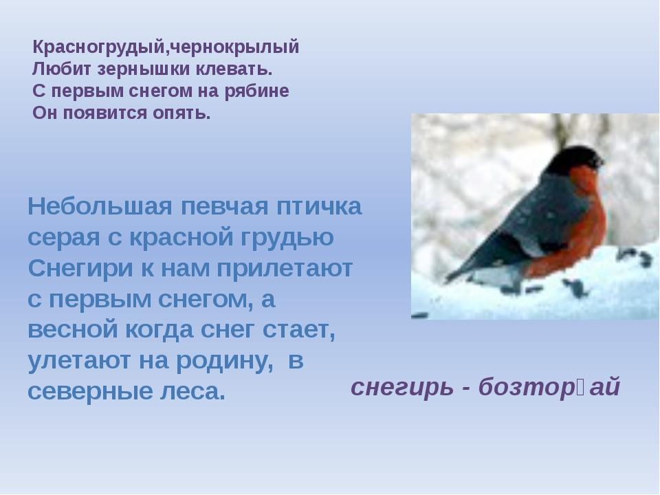 Красногрудый,чернокрылый Любит зернышки клевать. С первым снегом на рябине Он...