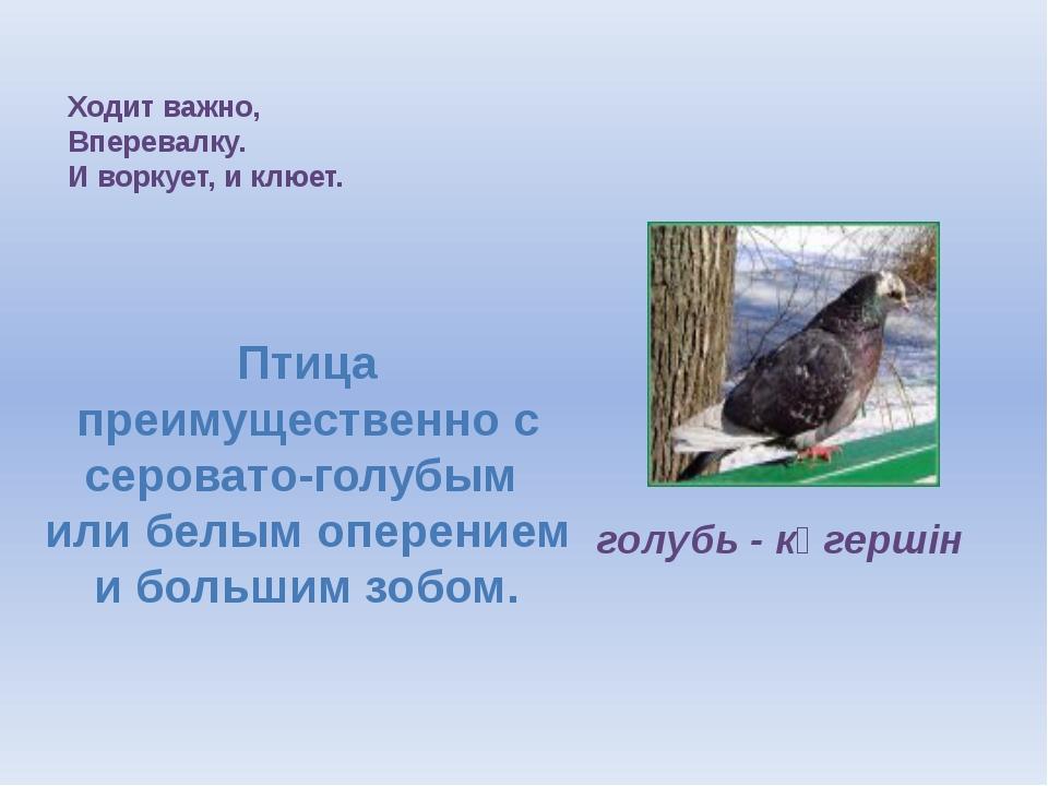 Ходит важно, Вперевалку. И воркует, и клюет. голубь - көгершін Птица преимуще...