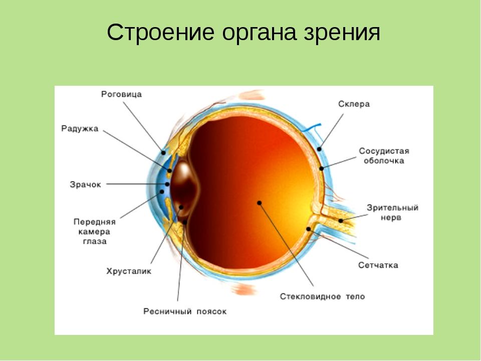 Вспомогательные части глаза Придатки и части глаза Строение Функции Брови Вол...
