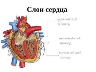 Слои сердца наружный слой перикард мышечный слой миокард внутренний слой эпик