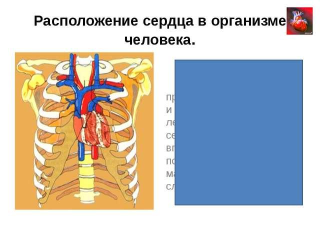 Расположение сердца в организме человека. Сердце находится в середине между п...