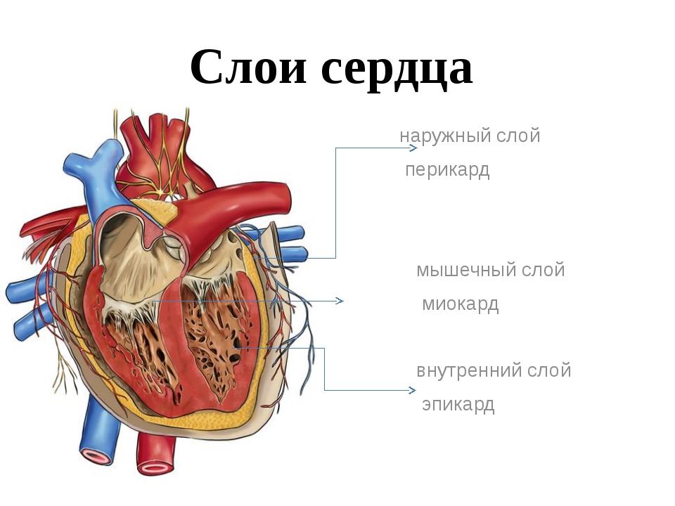 Слои сердца наружный слой перикард мышечный слой миокард внутренний слой эпик...