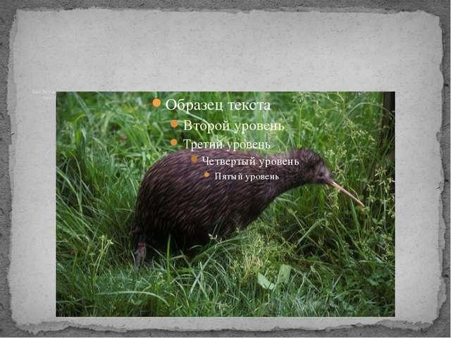 Kiwi, the National Animal of New Zealand