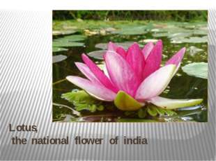 Lotus, the national flower of india