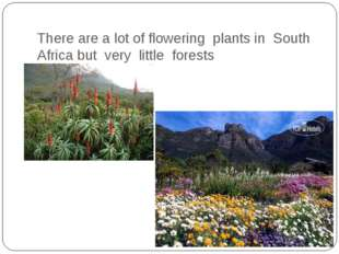 There are a lot of flowering plants in South Africa but very little forests