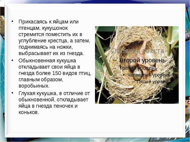 Прикасаясь к яйцам или птенцам, кукушонок стремится поместить их в углублени...
