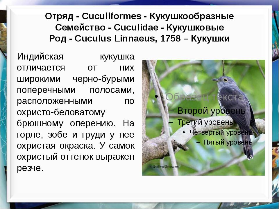 Отряд - Cuculiformes - Кукушкообразные Cемейство - Cuculidae - Кукушковые Ро...