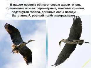 В нашем поселке обитают серые цапли -очень грациозные птицы: серо-чёрные, мах