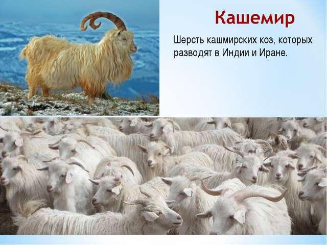 Шерсть кашмирских коз, которых разводят в Индии и Иране.