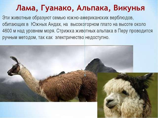 Эти животные образуют семью южно-американских верблюдов, обитающих в Южных Ан...
