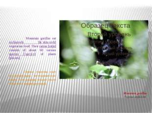 Mountain gorillas Горные гориллы Mountain gorillas eat exclusively [ik`sklu:s