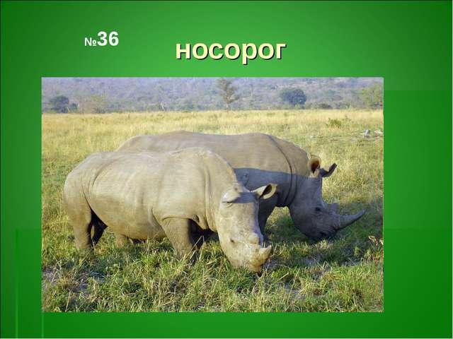 носорог №36