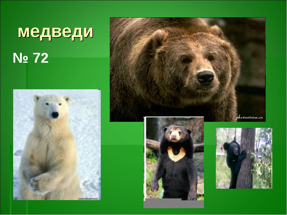 медведи № 72