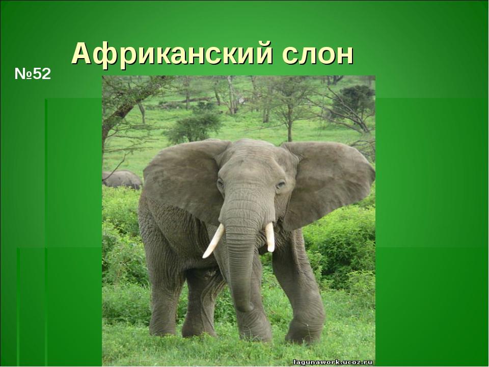 Африканский слон №52