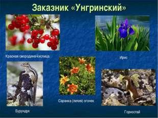 Заказник «Унгринский» Красная смородина-кислица Ирис Саранка (лилия) огонек Б