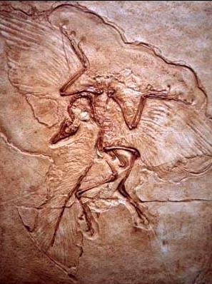 Картинки по запросу На рисунке изображен отпечаток археоптерикса.