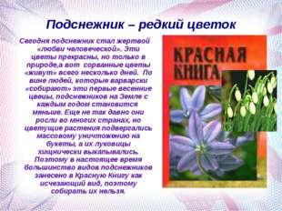 Подснежник – редкий цветок Сегодня подснежник стал жертвой «любви человеческо