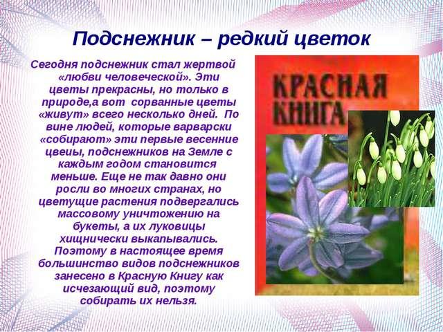 Подснежник – редкий цветок Сегодня подснежник стал жертвой «любви человеческо...