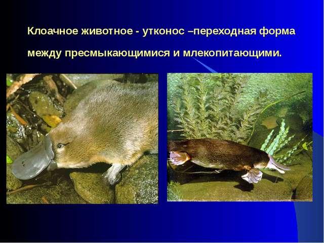 Клоачное животное - утконос –переходная форма между пресмыкающимися и млекопи...