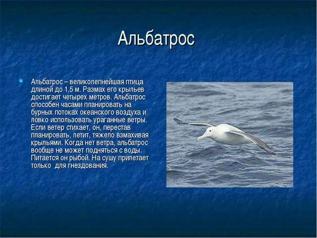 Альбатрос Альбатрос – великолепнейшая птица длиной до 1,5 м. Размах его крыль...