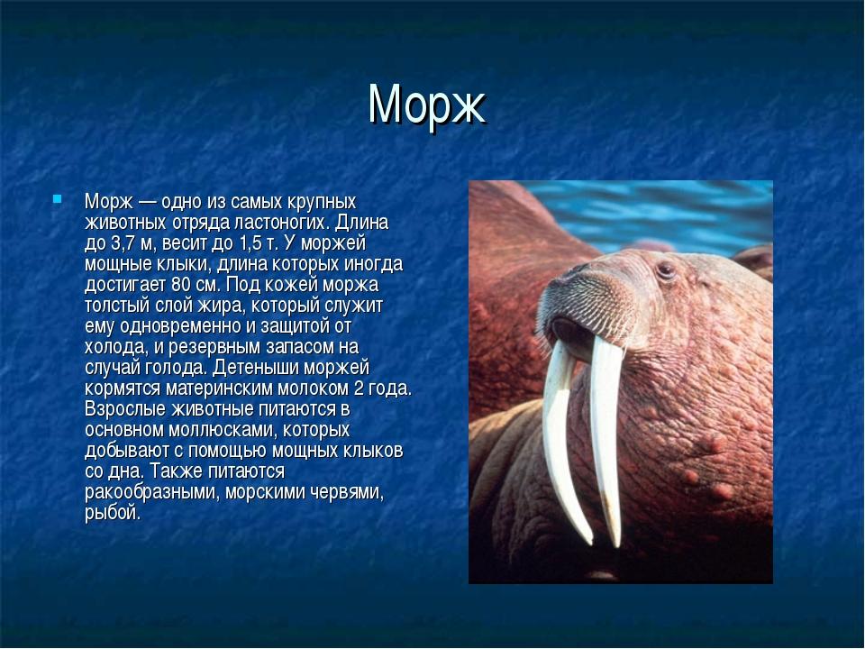 Морж Морж— одно из самых крупных животных отряда ластоногих. Длина до 3,7 м,...