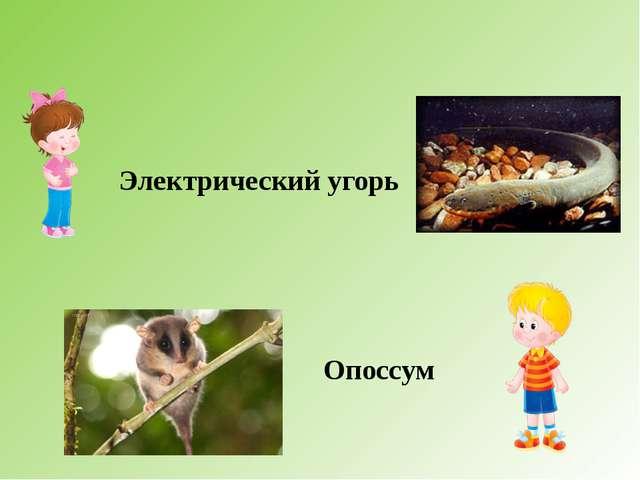 Электрический угорь Опоссум