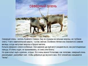 Северный олень - житель Крайнего Севера. Ему не страшны ни сильные морозы, ни