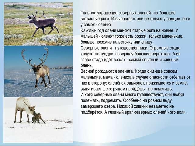 Главное украшение северных оленей - их большие ветвистые рога. И вырастают он...