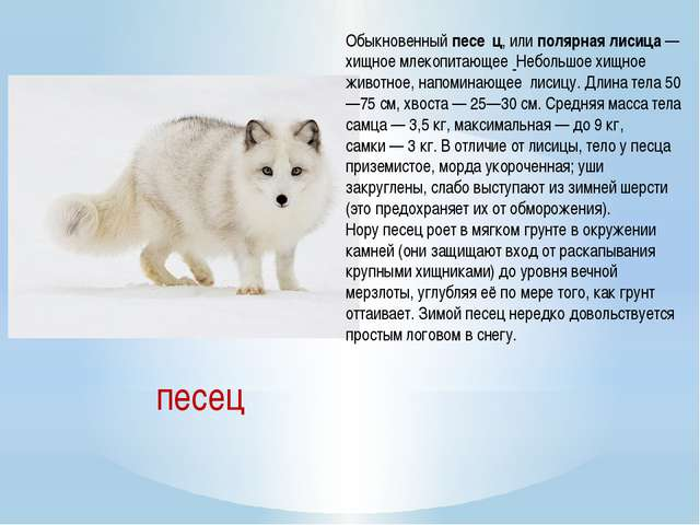 Обыкновенныйпесе́ц, илиполярная лисица— хищное млекопитающее Небольшое хи...