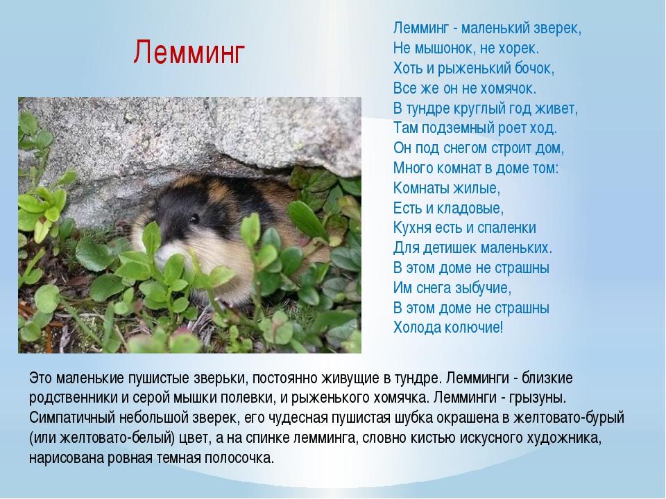 Лемминг - маленький зверек, Не мышонок, не хорек. Хоть и рыженький бочок,...
