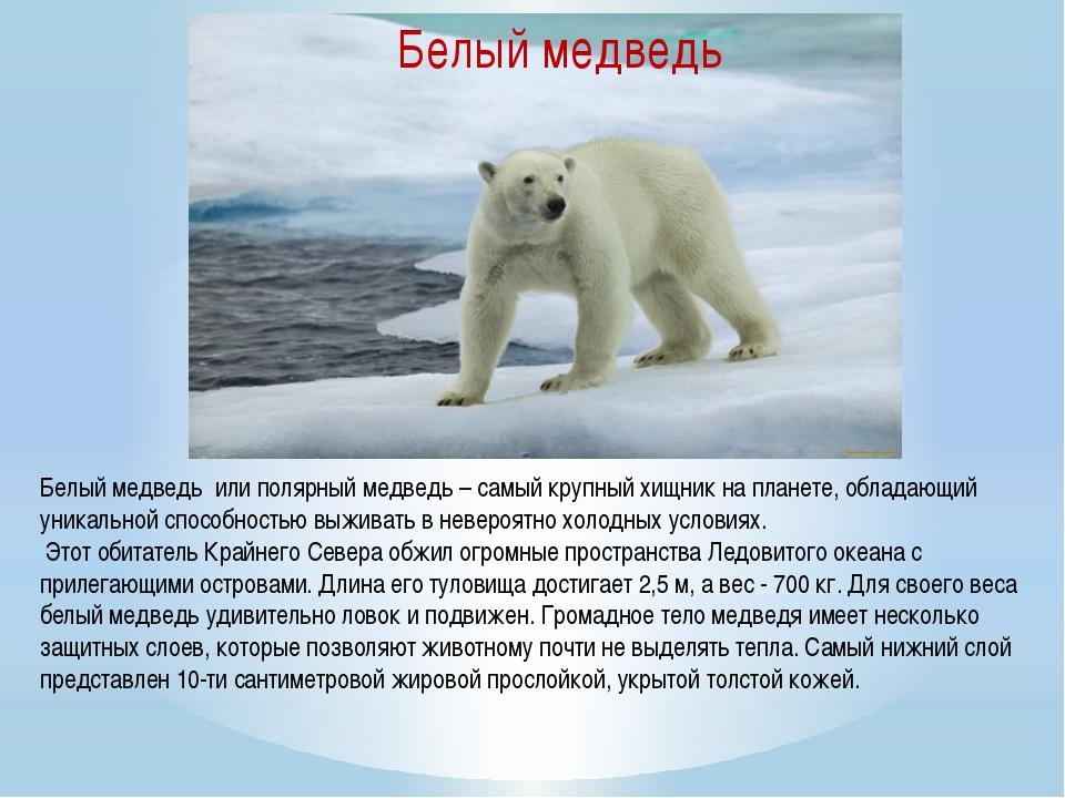 Белый медведь или полярный медведь – самый крупный хищник на планете, облада...