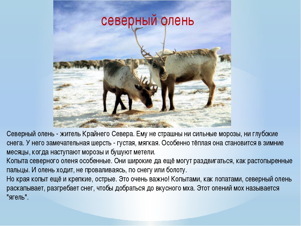 Северный олень - житель Крайнего Севера. Ему не страшны ни сильные морозы, ни...