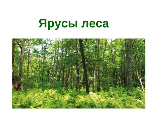Ярусы леса