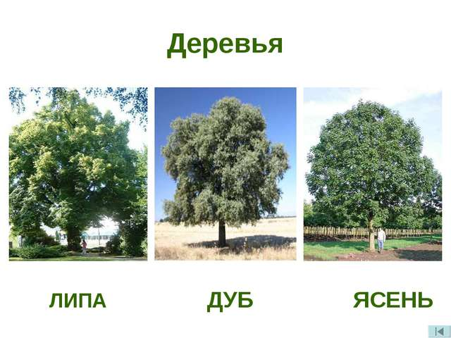 Деревья ЛИПА ДУБ ЯСЕНЬ