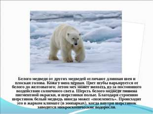 Белого медведя от другихмедведейотличают длиннаяшеяи плоскаяголова.Кожа