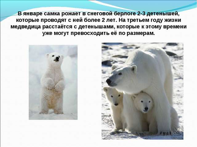 В январе самка рожает в снеговой берлоге 2-3 детенышей, которые проводят с не...