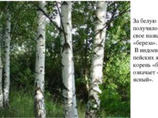 За белую кору и получило дерево свое название «береза». В индоевро-пейских яз