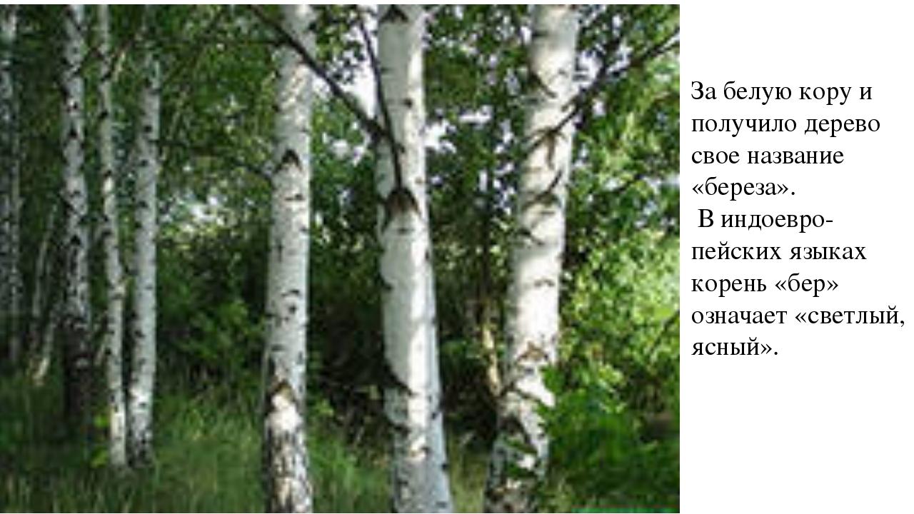 За белую кору и получило дерево свое название «береза». В индоевро-пейских яз...