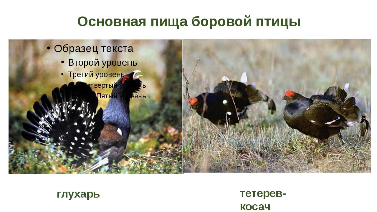 Основная пища боровой птицы глухарь тетерев-косач