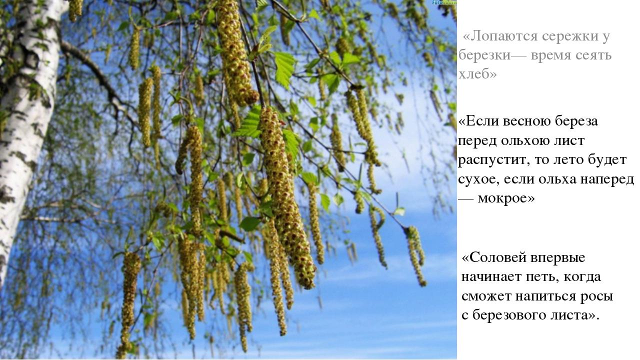 «Лопаются сережки у березки— время сеять хлеб» «Если весною береза перед оль...
