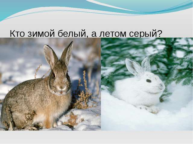 Кто зимой белый, а летом серый?