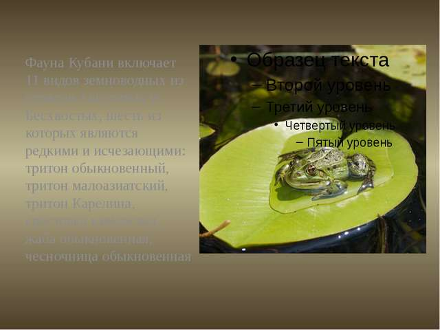 Фауна Кубани включает 11 видов земноводных из отрядов Хвостатых и Бесхвостых,...
